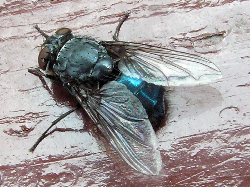Calliphora_%28Blow-fly%29.jpg
